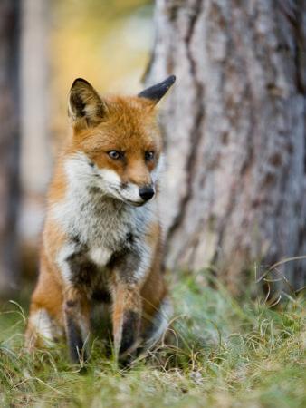 Red Fox, Sitting in Grass Next to Pine Tree, Lancashire, UK by Elliot Neep