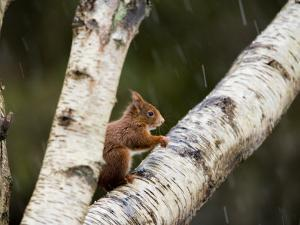 Red Squirrel, Perched on Birch Branch in Snow, Lancashire, UK by Elliot Neep