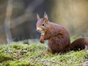 Red Squirrel, Sat on Moss, Lancashire, UK by Elliot Neep
