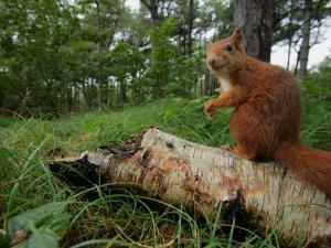 Red Squirrel, Sitting, Lancashire, UK by Elliot Neep