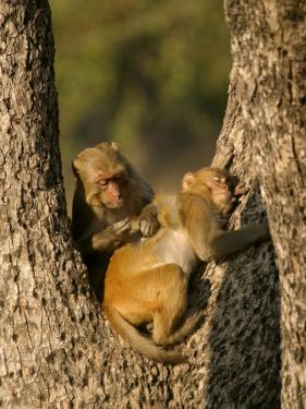 Rhesus Macaques, Pair of Macaques in Tree, Bandhavgarh, India by Elliot Neep