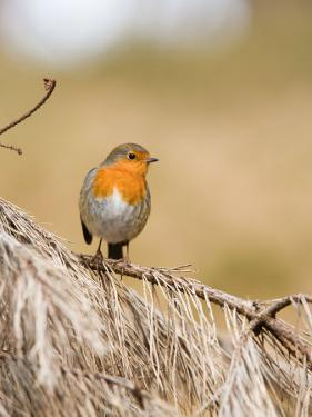 Robin, Perched on Dead Pine Branch, Lancashire, UK by Elliot Neep