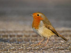 Robin, Standing, Hampshire, UK by Elliot Neep