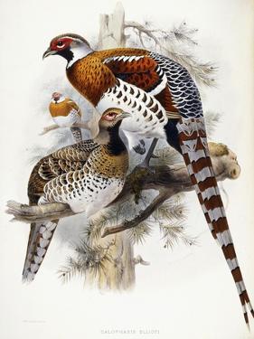Elliot's Pheasant, 1865