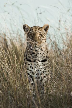 African Leopard (Panthera pardus pardus) adult female, stalking in long grass, Masai Mara, Kenya