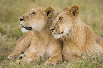 Massai Lion (Panthera leo nubica) adult female laying with immature male, Masai Mara, Kenya