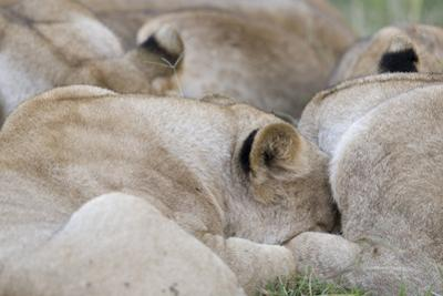 Massai Lion (Panthera leo nubica) adult females, pride sleeping, Masai Mara, Kenya