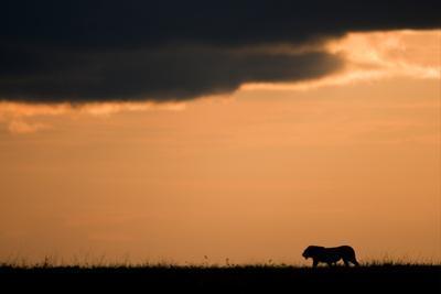 Massai Lion (Panthera leo nubica) adult male, silhouetted against sky at sunset, Masai Mara, Kenya