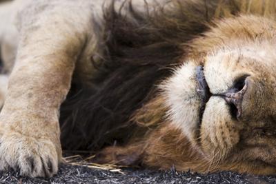 Massai Lion (Panthera leo nubica) adult male, sleeping, close-up of muzzle, mane and paw