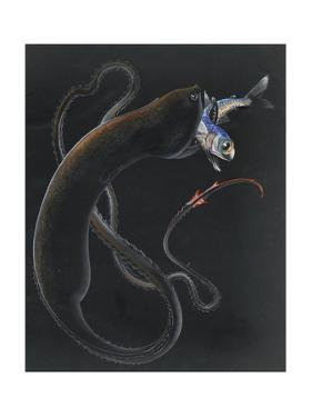 An Illustration Shows a Gulper Eel Capturing and Eating Another Fish by Else Bostelmann