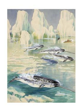 Narwhal Whales are Being Hunted by Eskimos by Else Bostelmann
