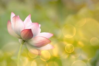 Lotus Flowers in Garden under Sunlight by elwynn