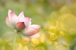 Lotus Flowers in Garden under Sunlight by elwynn
