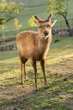 One Deer in Nara Park in the Morning, Japan, Asia. by elwynn