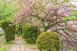 Sakura on the Road in Kyoto, Japan. by elwynn