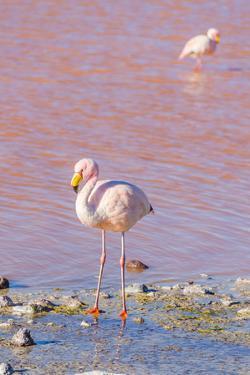 Flamingos, Laguna Colorada, Reserva Nacional De Fauna Andina Eduardo Avaroa, Los Lipez, Bolivia by Elzbieta Sekowska