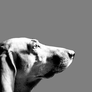 Italian Bloodhound Bw by Emanuela Carratoni