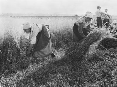 Harvesters, the Sheaf Binders, c.1900
