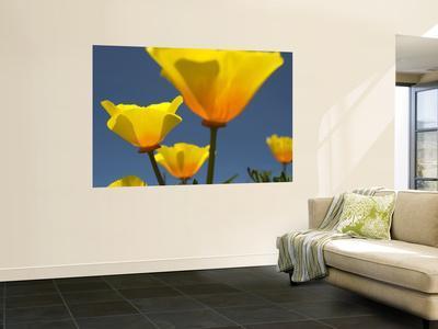 Yellow California Poppies (Eschscholzia Californica)