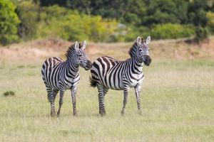Africa, Kenya, Masai Mara National Reserve. Plains Zebra, Equus quagga. by Emily Wilson