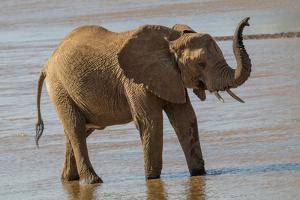 Africa, Kenya, Samburu, Ewaso Ng'iro River, African elephant. by Emily Wilson