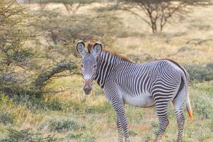Africa, Kenya, Samburu National Game Reserve and Park, Grevy's Zebra. by Emily Wilson