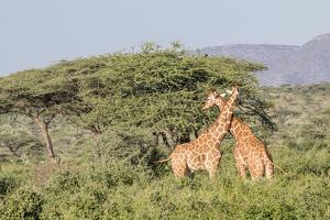 Africa, Kenya, Samburu National Park, Reticulated Giraffes at sunset. by Emily Wilson