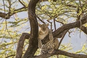 Africa, Kenya, Samburu National Reserve. African Leopard in tree. by Emily Wilson