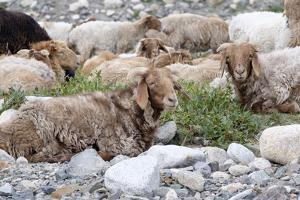 Asia, Western Mongolia, Khovd Province, Gashuun Suhayt. River Valley. Mongolian Cashmere Goats by Emily Wilson