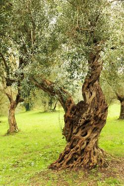 Italy, old Mediterranean olive trees. The botanical name Olea europaea, meaning 'European olive' by Emily Wilson