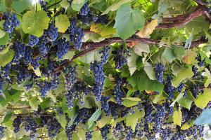 Macedonia, Ohrid and Lake Ohrid, Grapes Growing Along Trellis by Emily Wilson
