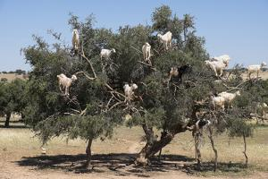 Morocco, Road to Essaouira, Goats Climbing in Argan Trees by Emily Wilson