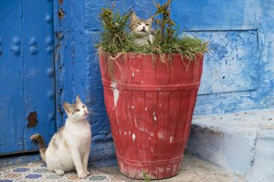 North Africa, Morocco, Rabat, Sale, Kasbah des Oudaias, Cats in the blue streets.