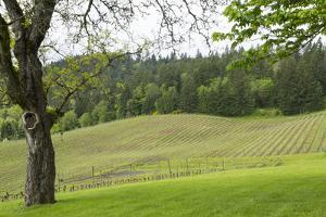 Oregon, Willamette Valley, Forest Grove. Pinot Noir Vines in Spring by Emily Wilson