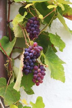 Southern Italy, Puglia. Ripe grapes on vines. by Emily Wilson