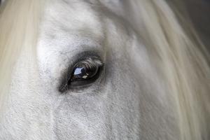 Spain, Balearic Islands, Mallorca. Esporles. La Granja. Museum. White horse. by Emily Wilson