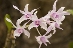 Thailand, Chiang Mai Province, Wat Phra That Doi Suthep. Orchids by Emily Wilson