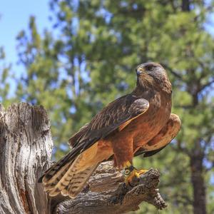 USA, Eastern Oregon, Bend, Raptors of the Desert Sky. High Desert Museum. by Emily Wilson
