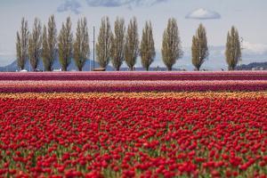 Washington, Mt Vernon, Tulips at the Skagit Valley Tulip Festival by Emily Wilson