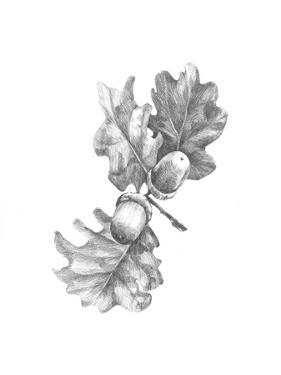 Oak Leaf Pencil Sketch II by Emma Caroline