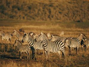 Zebras Herd in the Ngorongoro Crater by Emory Kristof