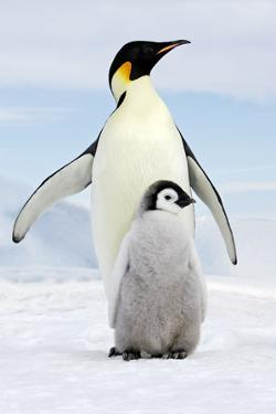 Emperor Penguin, Adult with Young