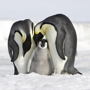 Emperor Penguin Adults with Chick