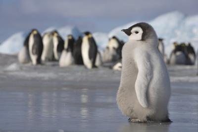 Emperor Penguin Chick in Antarctica