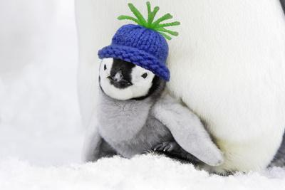 https://imgc.allpostersimages.com/img/posters/emperor-penguin-chick-sheltering-on-adult-s-feet_u-L-Q106GLO0.jpg?p=0