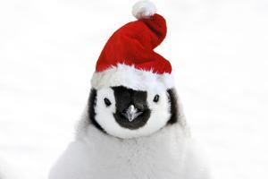 Emperor Penguin Chick Wearing Christmas Hat