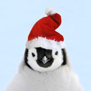 Emperor Penguin Chick Wearing Christmas Hat