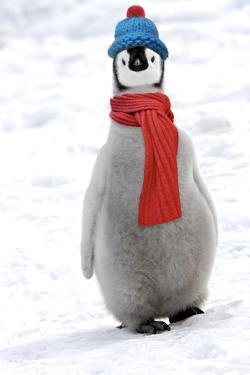 Emperor Penguin Chick Wearing Hat and Scarf