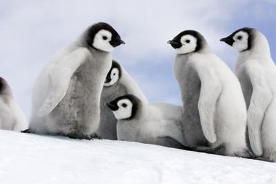 Emperor Penguin Group of Chicks