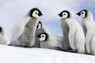 https://imgc.allpostersimages.com/img/posters/emperor-penguin-group-of-chicks_u-L-Q106D1D0.jpg?p=0